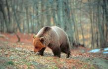 αρκούδα πίνδου