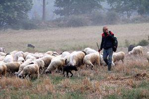 πρόβατα βοσκός