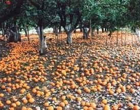 Πορτοκάλια στα χωράφια