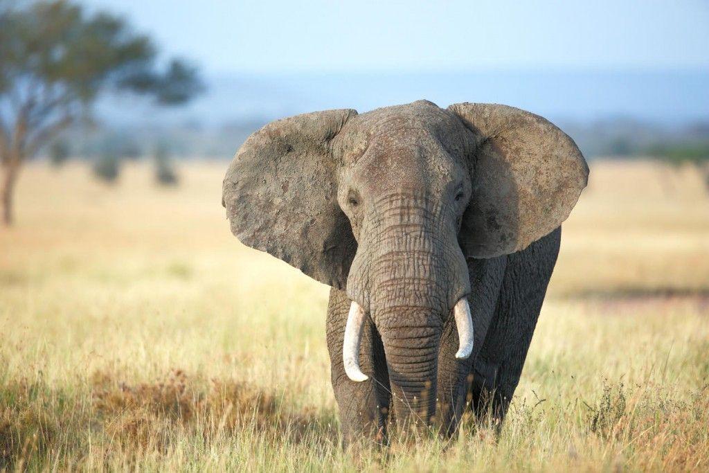 Προς Εξαφάνιση Δύο Είδη Αφρικανικού Ελέφαντα